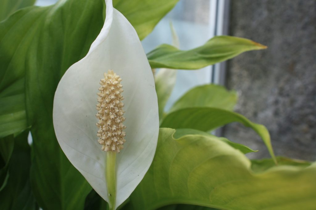 peace lily lucky plant in front of the house