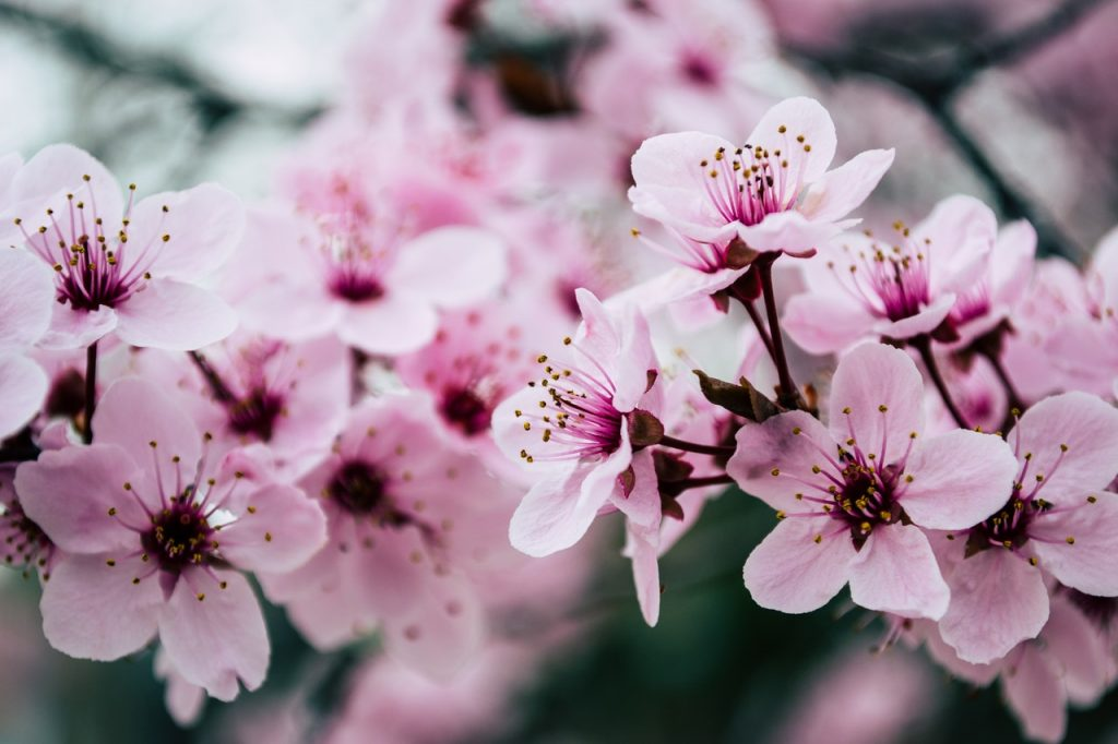 pink blossoms flowers for luck
