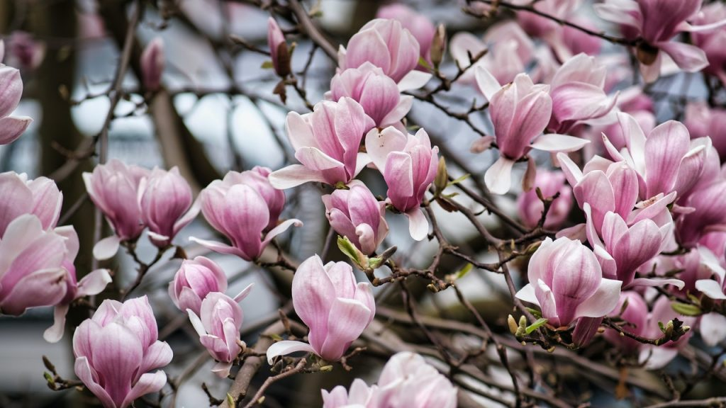 pink magnolias flowers for luck