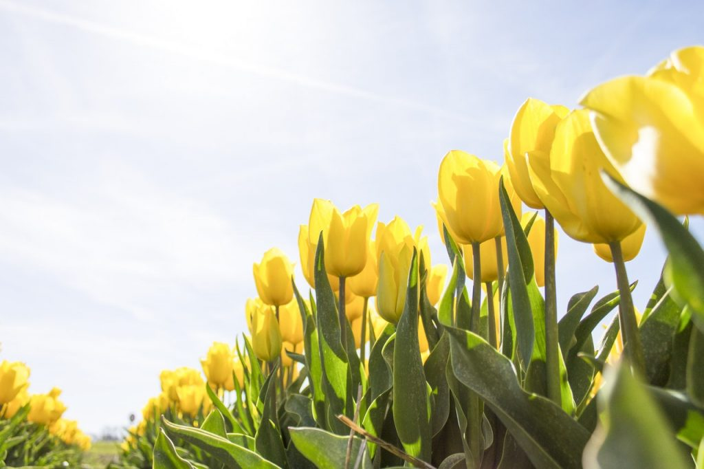 yellow tulip bulbs flowers for luck
